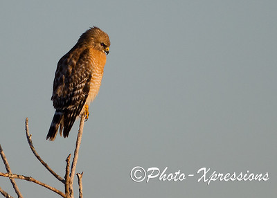 Red Shoulder Hawk_1809