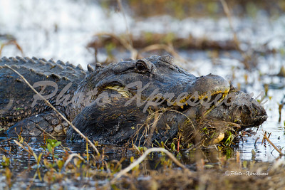 alligator-eating_2147