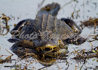 alligator-eating_2134