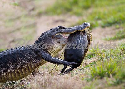 alligator-carring food_2179