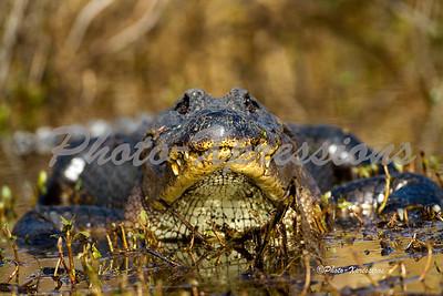 alligator head on_2137