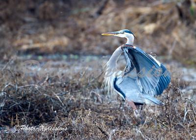Great Blue Heron_2025