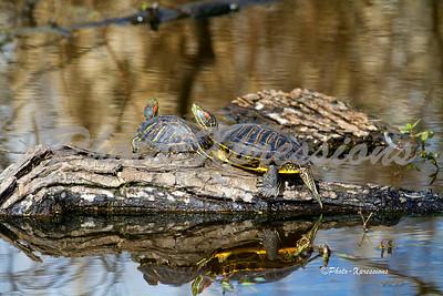 Redear Slider Turtles