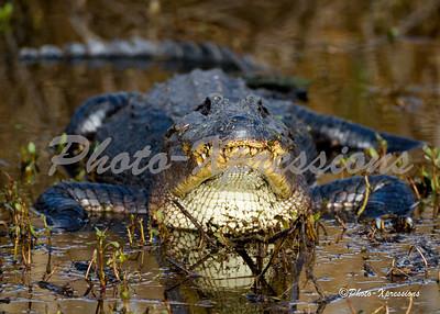 alligator at ya_2115