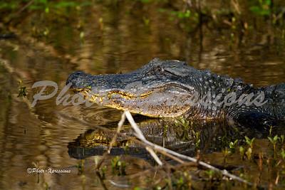 alligator side_2206
