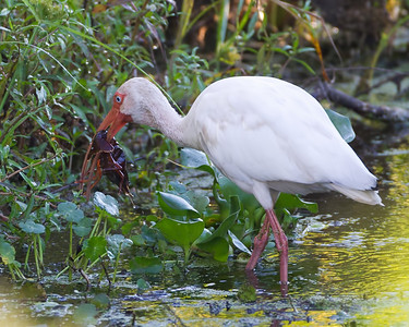 Ibis with catch of the day............