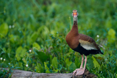 Black bellied whistling duck_0250