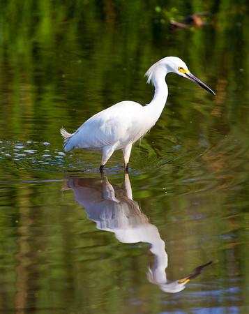 Snowy Egret mirrored_0711