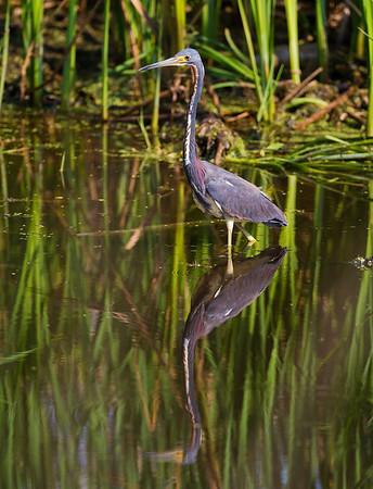 Tricolored Heron_0653