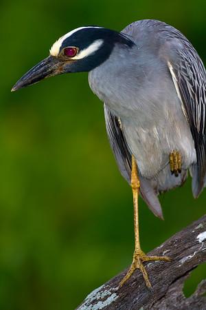 yellow crowned night heron_0055