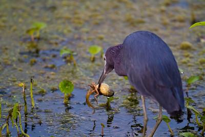 little blue heron_0146
