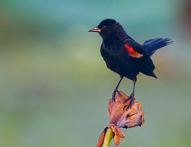 red wing black bird-0292