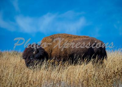 Buffalo blue sky_5596