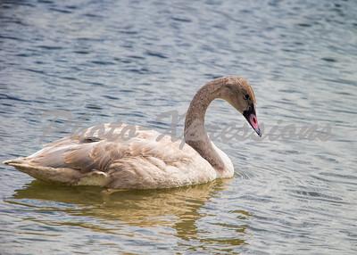 swan_4854