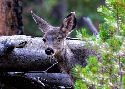 mule deer doe head shot_5539