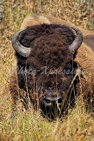 Buffalo head shot_5640