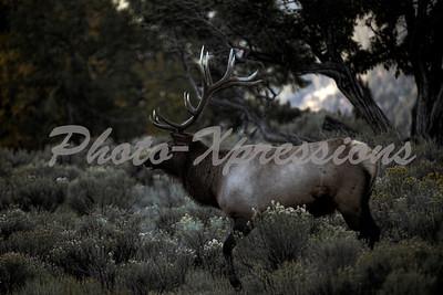 elk at dusk_5776