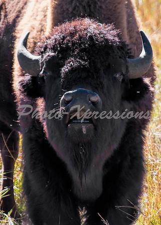 Buffalo head on_5864