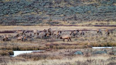 Bull Elk and his harem_6404