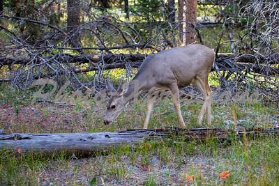doe mule deer_5508