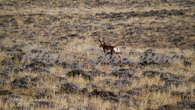 antelope_4744