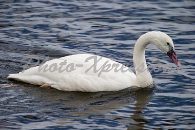 swan white_4870