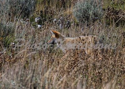 coyote stalking_5621