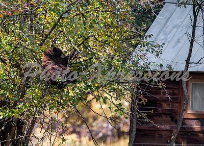 Bear tree berries cabin_4999