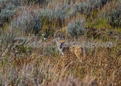 coyote brush_5611
