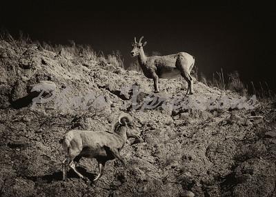 Big horn sheep_6216