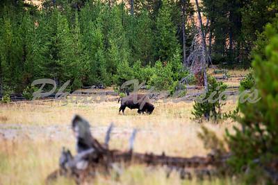 Buffalo one field_4934