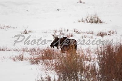 moose-full-2-1008