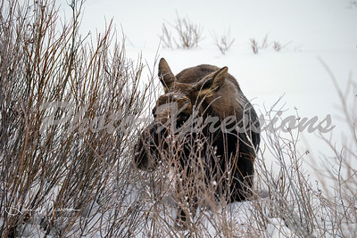 moose-snow-wm_1724