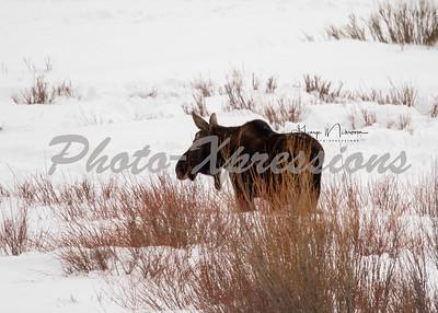 moose-5x7-2-1008