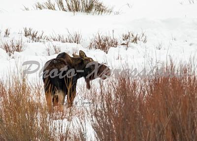 moose-5x7-2-0978