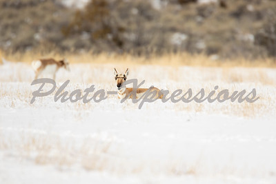pronghorn-full-2-0534