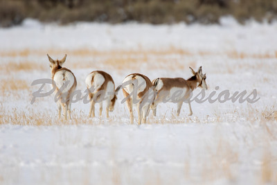 pronghorn-full-2-0539