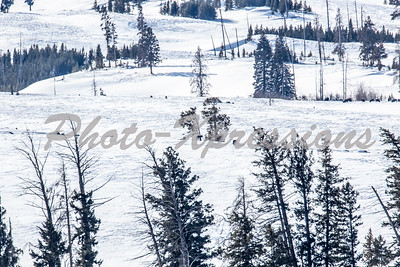 wolves-two-2-1441
