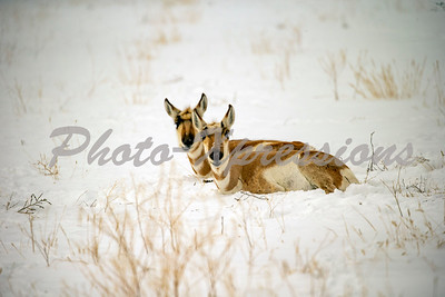 pronghorn-full_0743