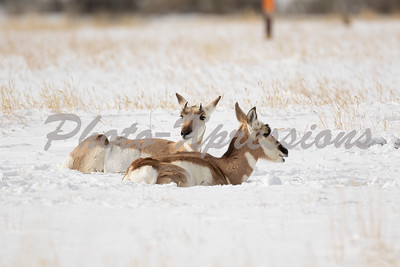 pronghorn-full-2-0517