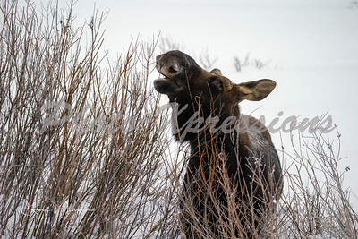 moose-snow-eating-wm_1745