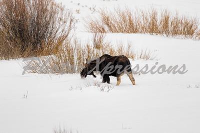 moose full-2-1042