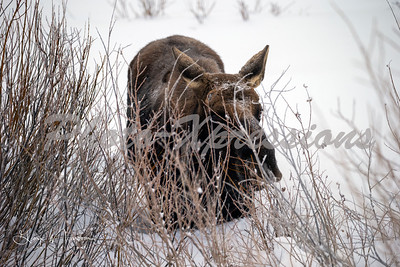 moose snow-wm_1692