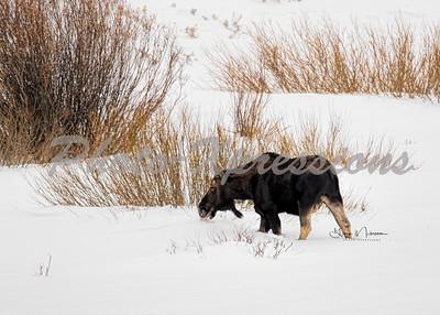 moose 5x7-2-1042