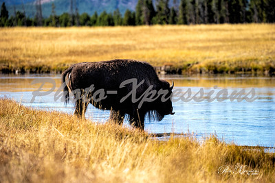 2-bison crossing river_5031