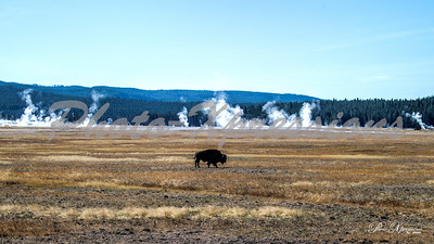 2-bison crossing with geysers in bg_5116
