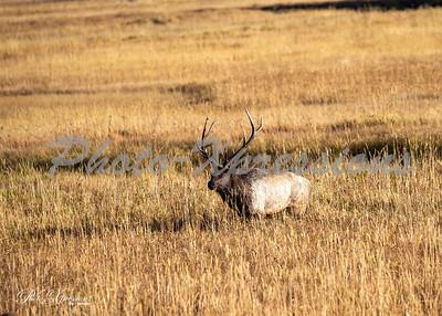 2-bull elk in field_5374