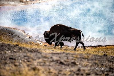2-bison near a geyser pool_5130
