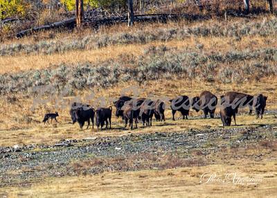blk wolf-bisons_0078