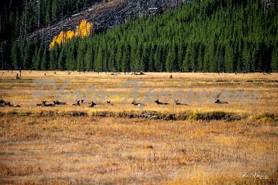 2-bull elk looking over his ladies_4957